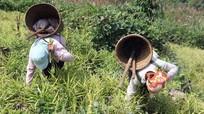 Giá gừng cao nhất trong 5 năm, người Mông thu hàng trăm triệu