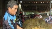 Nông dân bất lực nhìn lúa mọc mầm vì mưa liên tiếp