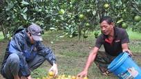Nông dân mất hàng trăm triệu đồng vì cam rụng do mưa lũ