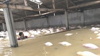 Trại lợn gần 4.000 con bị xóa sổ sau ngập lụt