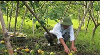 Người trồng cam Xã Đoài thất thu tiền tỷ