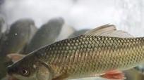 Hơn 300 tấn cá trôi theo dòng nước lũ, nông dân Nam Đàn mất 15 tỷ đồng
