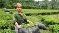 Mưa liên tục khiến chè ở Nghệ An bị thối rễ, nấm lá