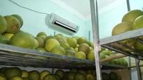 Nông dân bật điều hòa làm mát bưởi đặc sản ở Nghệ An