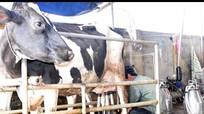 Nông dân Nghệ An liên kết nuôi 1.104 con bò sữa