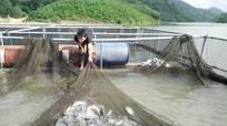Anh Sơn: Thâm canh cá rô phi trong lồng nhựa