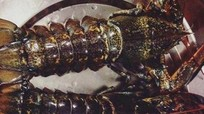 Dân Việt ăn hàng trăm tấn tôm hùm Canada mỗi năm