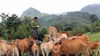 Giá trâu bò giảm mạnh, người nuôi ở miền núi thiệt lớn