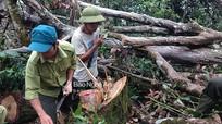 13 cây Pơ mu quý hiếm ở Khu Bảo tồn thiên nhiên Pù Huống bị lâm tặc đốn hạ