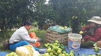 Quỳ Hợp: Thu hoạch cam chính vụ, mỗi ha đạt 600 triệu đồng