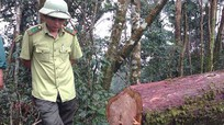 Vụ 13 cây pơ mu bị đốn hạ ở Quế Phong: Có đầu nậu hay không?