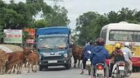 Quốc lộ 7B ở Nghệ An bị 'chặn' bởi trâu bò