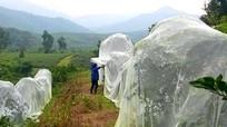 Mới lạ: Nông dân xứ Nhút 'mắc màn' cho cam