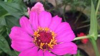 Trồng hoa để ngăn côn trùng phá hoại rau ở miền tây xứ Nghệ