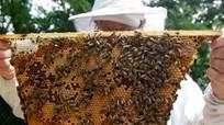 Những 'sai lầm' khiến mật ong chất lượng kém