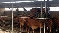 Hà Tĩnh: Bắt nhốt hàng chục con bò 'ngênh ngang' trên quốc lộ