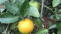 Ruồi vàng tấn công cam quýt sắp thu hoạch ở Quỳnh Lưu