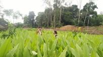 Đất cằn vùng cao cho thu nhập cả trăm triệu từ trồng nghệ
