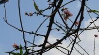 Hoa đào nở rộ giữa mùa thu, người trồng lo lắng