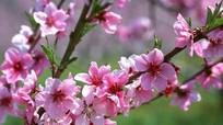 Bí quyết trồng đào nở hoa đúng dịp Tết