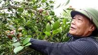 'Lợi ích kép' của vùng trồng sở ở Nghệ An
