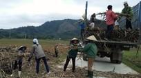 Nỗi lo của người trồng mía Anh Sơn trước vụ thu hoạch mới