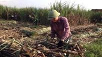 Tân Kỳ tập trung thu hoạch mía
