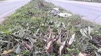 Nhiều cây xanh giữa giải phân cách Quốc lộ 1A bị chặt phá