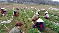 Thái Hòa trồng 20ha ớt xuất khẩu trên đất cát pha