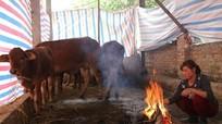 Cách phòng, chống rét hiệu quả cho gia súc