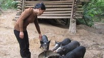 Nhiều hộ nông dân nuôi lợn đen lai lợn rừng phục vụ Tết.