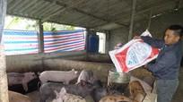 Nông dân Yên Thành tái đàn chăn nuôi phục vụ Tết Nguyên đán