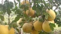 Ngọt thơm bưởi Diễn trồng trên đất Thanh Chương