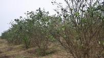 Người trồng cam ở Nghệ An lao đao vì giống kém chất lượng