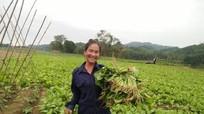 Nông dân Anh Sơn bước vào vụ thu hoạch sớm rau vụ đông