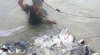 Nuôi cá rô phi VietGAP đạt hơn 15 tấn/ha