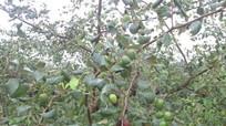 Người trồng táo Nghĩa Đàn trắng tay vì thời tiết