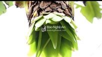 Độc đáo cây chuối 'cô đơn' - thần dược của người Thái Nghệ An