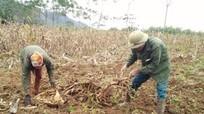 Mỗi hécta trồng sắn cho thu nhập cao nhất chỉ 25 triệu đồng