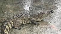 Kinh hãi cảnh cá sấu được đem rao bán giữa đường ở Việt Nam