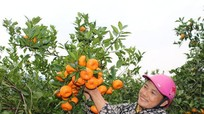 Mùa quýt đỏ trĩu cành ở Anh Sơn