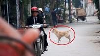 Chó thả rông 'chạy khắp' thành Vinh