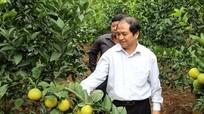 Cam Vinh, cam V2 trồng ở Hải Dương đã cho quả