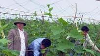 Diễn Châu hỗ trợ nông dân 280 triệu đồng trồng dưa chuột Tết