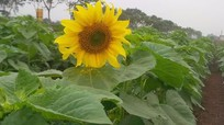 Bông hoa hướng dương đầu tiên ở cánh đồng hoa Nghệ An đã bung nở