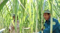 UBND tỉnh quy hoạch 645 ha trồng mía ở Anh Sơn cho nhà máy đường Sông Con
