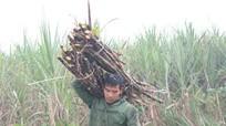 Nông dân Nghệ An vào mùa thu hoạch mía
