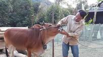 Kỳ Sơn: Nhiều trâu, bò chết do dịch bệnh