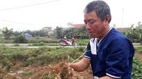 Nông dân Quỳnh Lưu mất mùa lạc đông