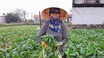 Nông dân Quỳnh Lưu vào vụ thu hoạch 'nhân sâm trắng'